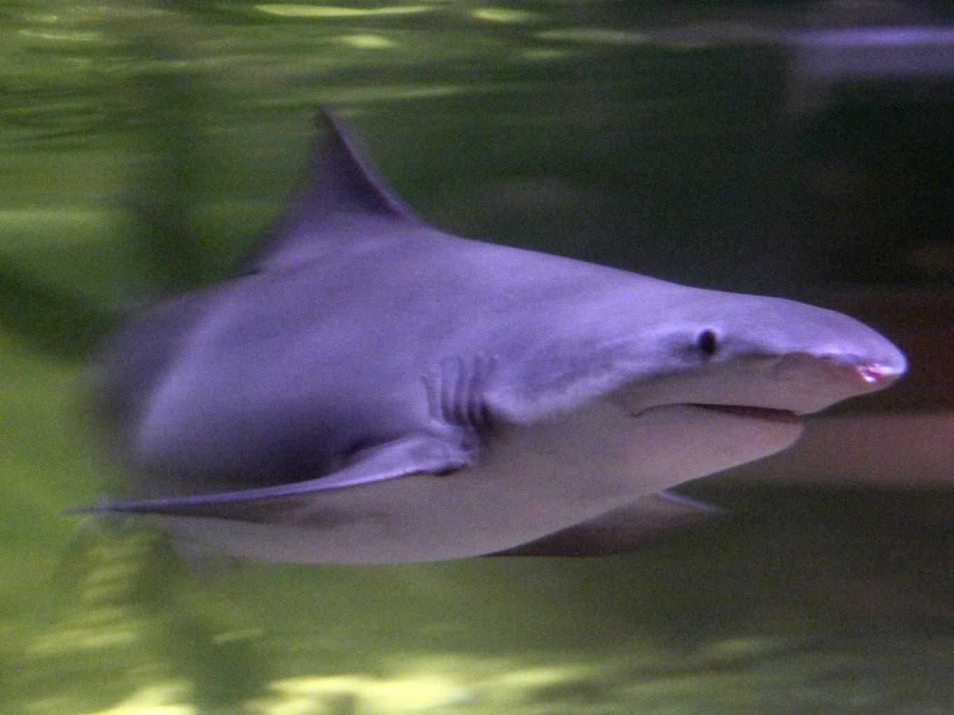 Речная акула фото
