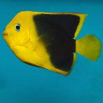 Рыба красотка