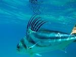 Рыба-петух под водой