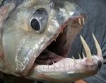 Морда Саблезубой рыбы