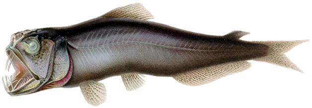 Саблезубая рыба фото