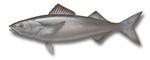 Нарисованная Угольная рыба