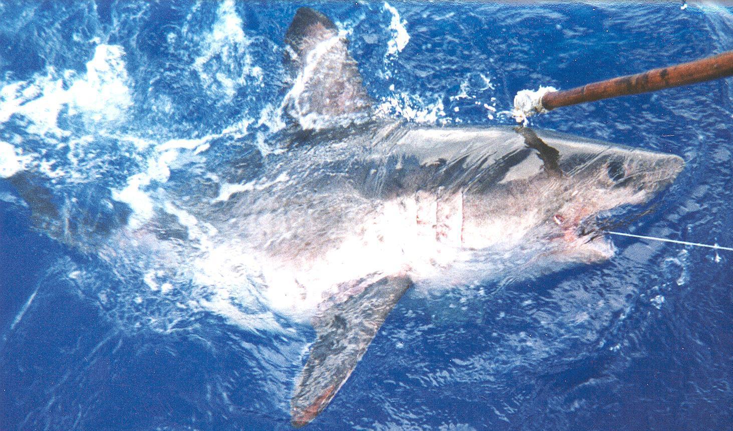 Лососёвая акула фото
