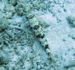 Песочный ящероголов вид сверху