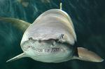 Морда Песчаной тигровой акулы