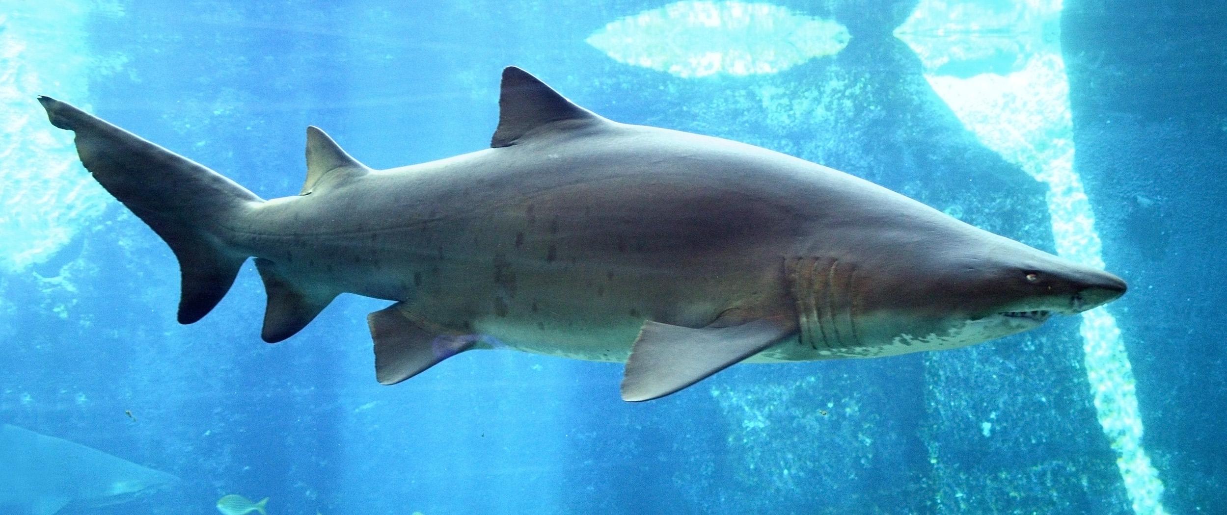 Тигровая песчаная акула фото