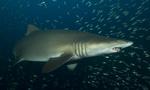 Песчаная тигровая акула вид сбоку