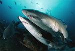 Песчаные тигровые акулы