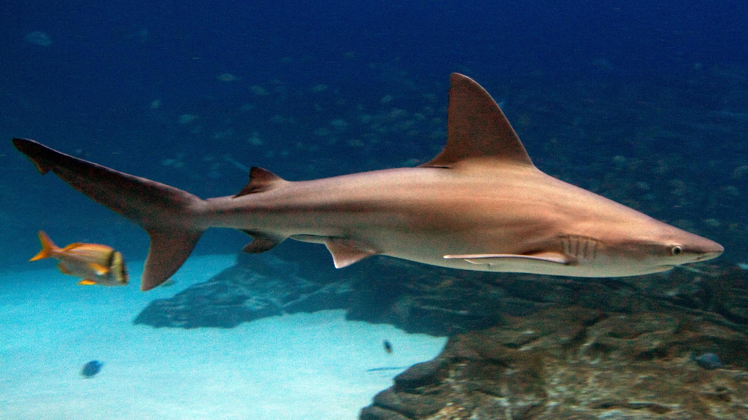 Серо-голубая акула фото