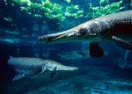 Страшный аллигатор рыба