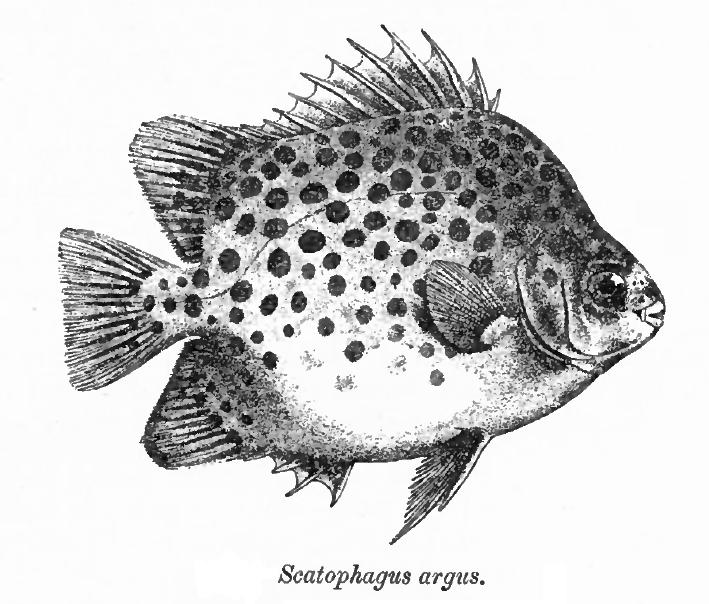 Аргусовая рыба фото