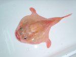 Хаунаксовая рыба вид сверху