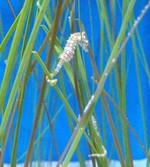 Морской конек среди водорослей