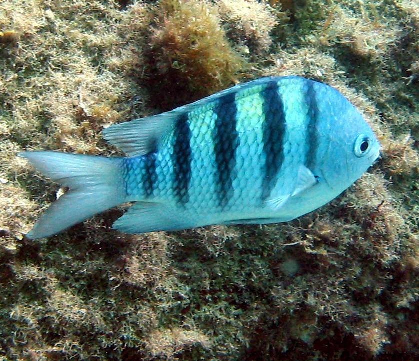 Рыба-сержант фото