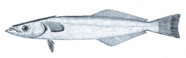 Рыба-прилипало фото