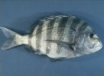 Рыба-овцеголов фото