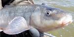 Рыба породы короткокрылый чукучан