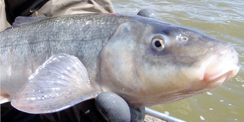 скаты рыба фото