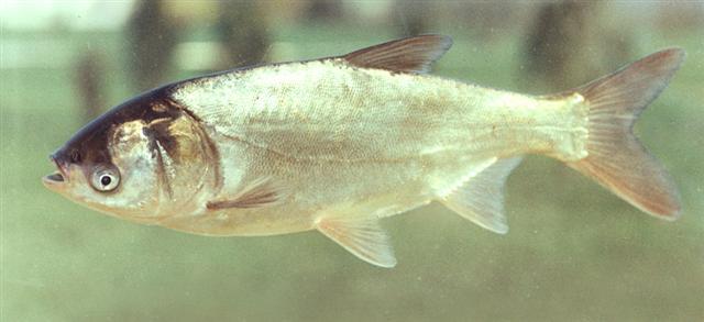 Белый толстолобик фото