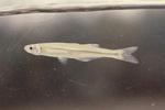 Атериновая рыба