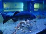 Угольная рыба в аквариуме