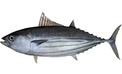 Полосатый тунец фото