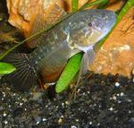 Рыба породы головешка