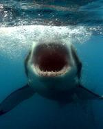 Пряморотая акула в океане
