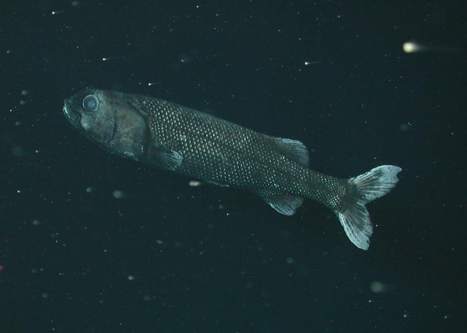 Гладкоголовая рыба фото