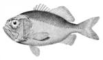 Нарисованная Бериксовая рыба