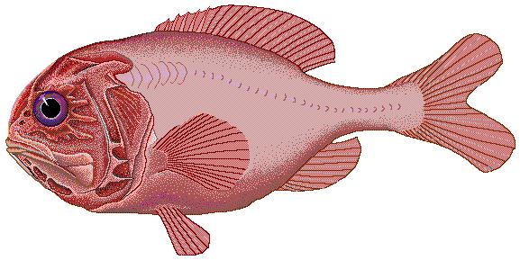 Красная рыба  фото
