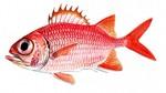 Нарисованная рыба-солдат