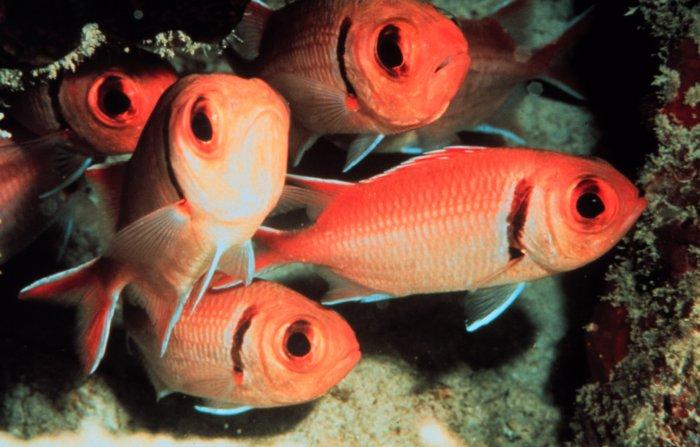 Рыба-солдат фото