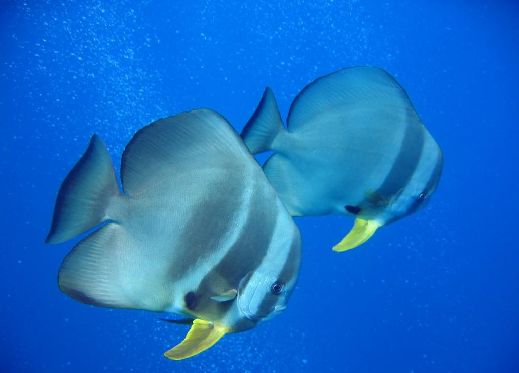 Рыба-лопата фото