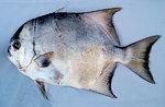 Рыба-лопата вид сбоку