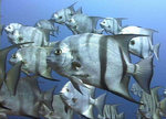 Рыбы-лопаты