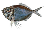 Нарисованная Диретмовая рыба