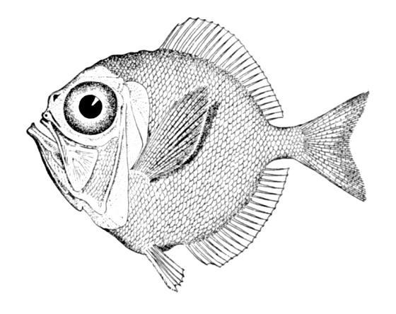 Диретмовая рыба фото