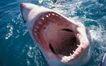 Злобная акула