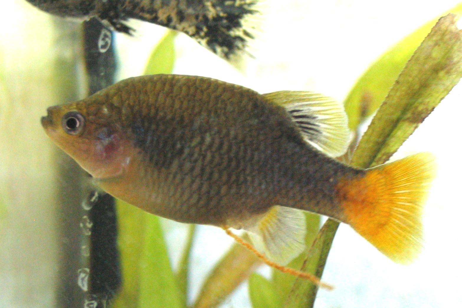 Гудеевая рыба фото