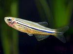 Рыба породы Точечный данио