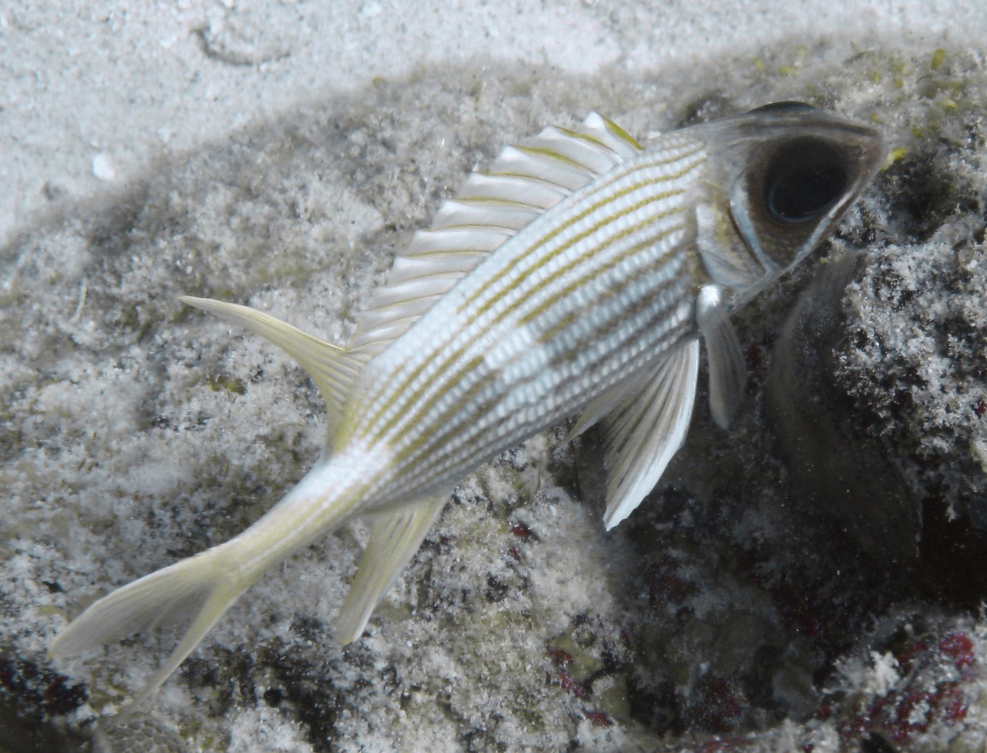 Рыба-белка фото