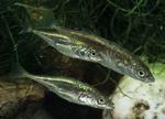 Колюшковые рыбы