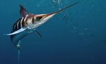 Марлиновая полосатая рыба