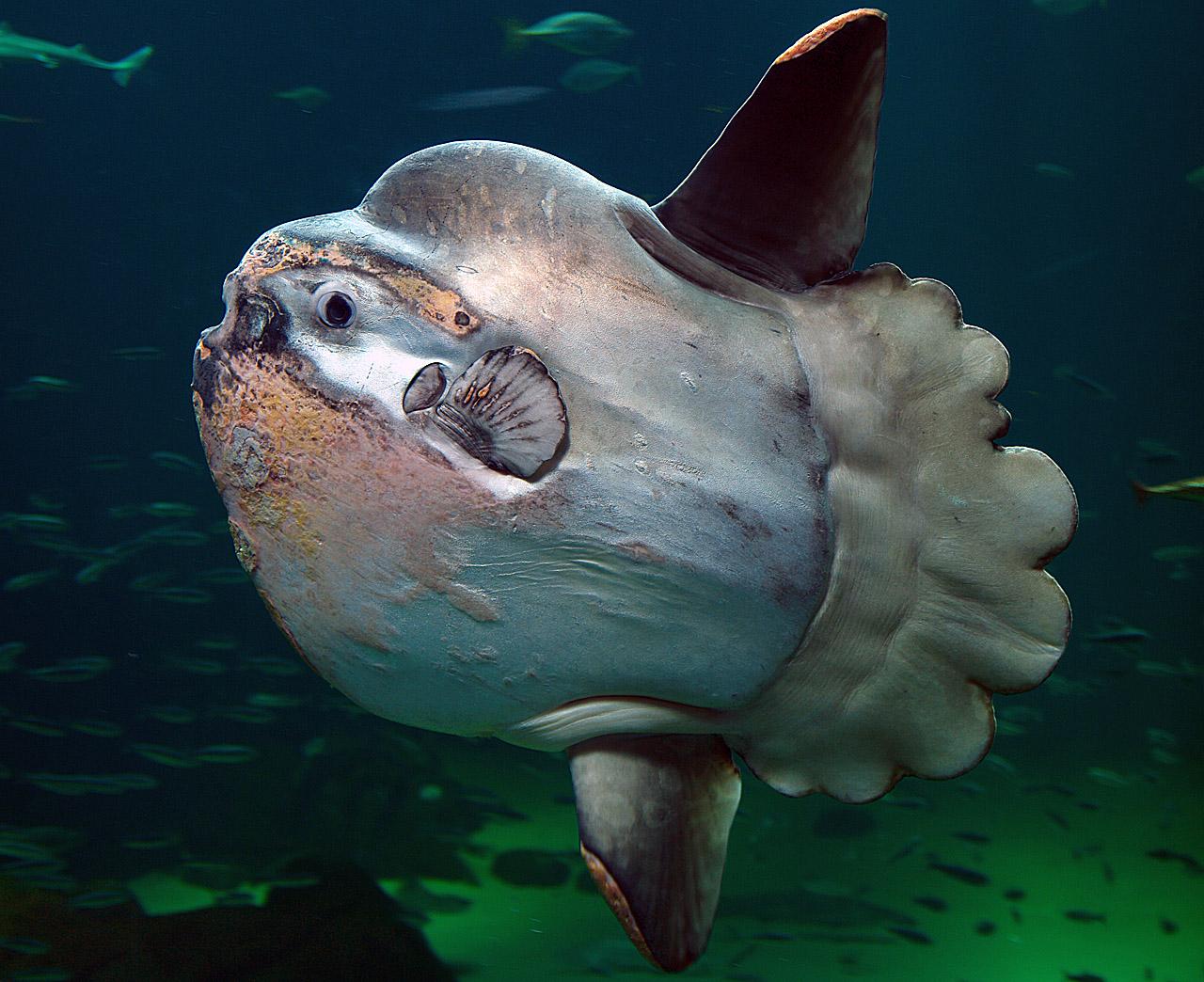 Солнечная рыба (mola mola) фото