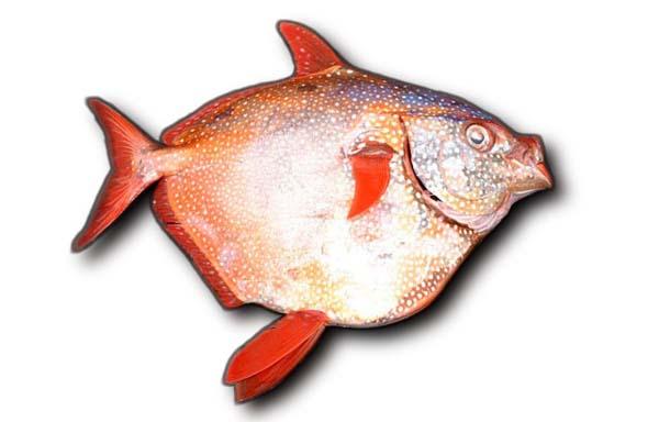 Солнечная рыба (opah) фото