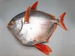 Солнечная рыба вид сбоку