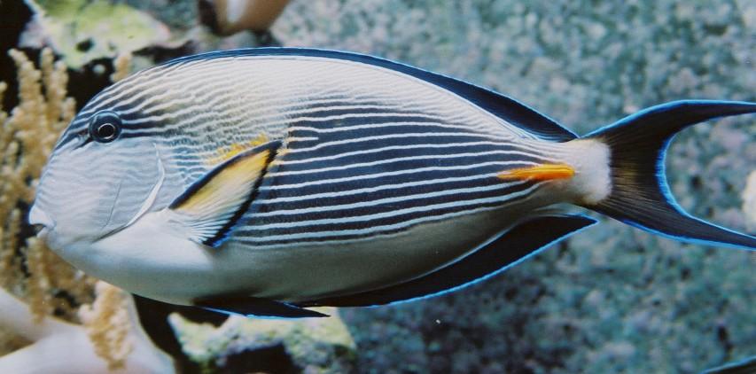 Рыба-хирург фото