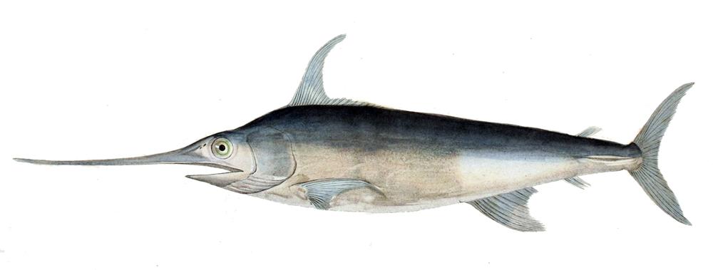 Меч-рыба фото
