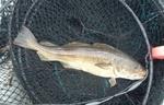 Рыба породы Бротолла